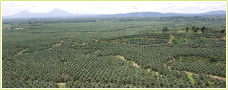 Plantation de palmiers destinnés à la production d'huile de palme