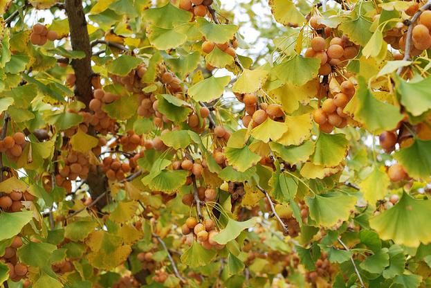Les fruits non-comestibles du Ginkgo Biloba femelle