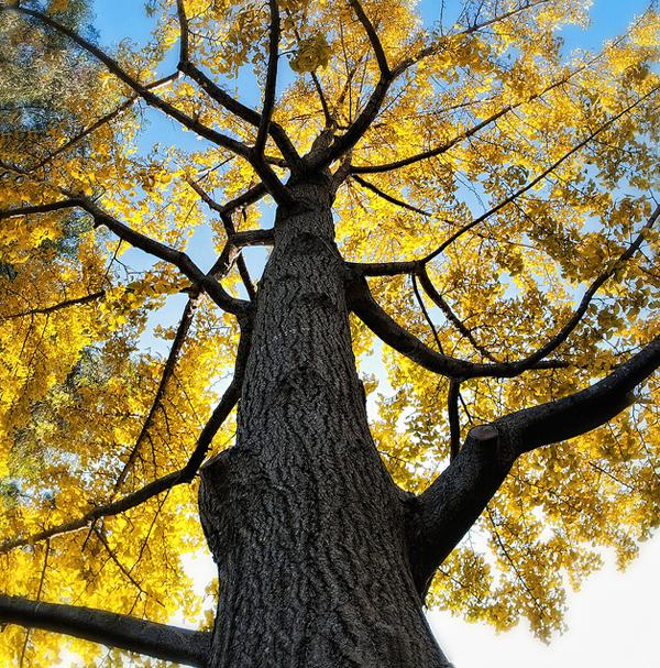Les feuilles d'un Ginkgo Biloba à l'automne