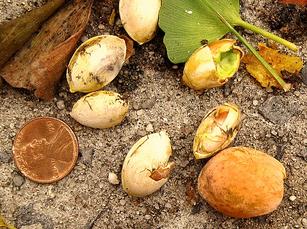 Les graines d'un Ginkgo Biloba femelle