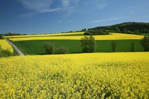 Champ de colza pour biodiesel